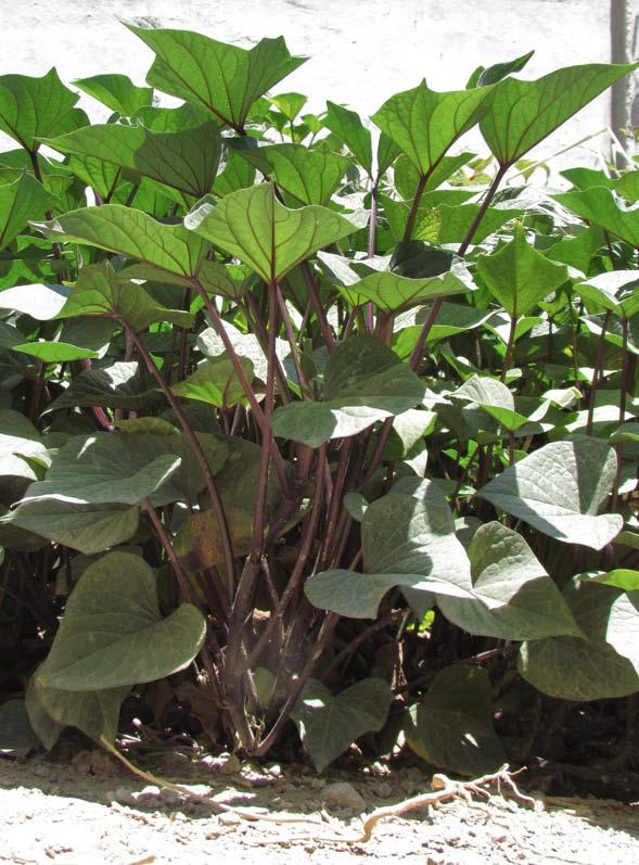 planta camote