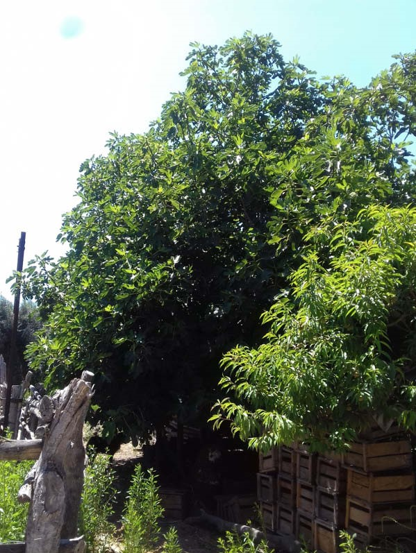 arbol higuera breva grande