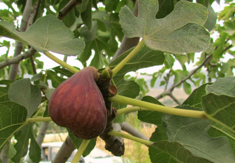 hoja y fruto higo chato