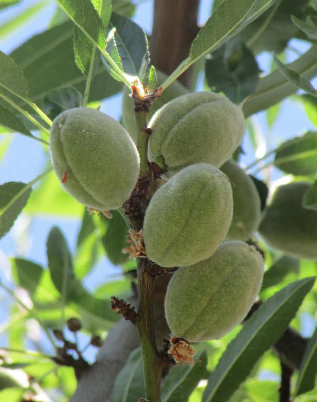 frutos almendro