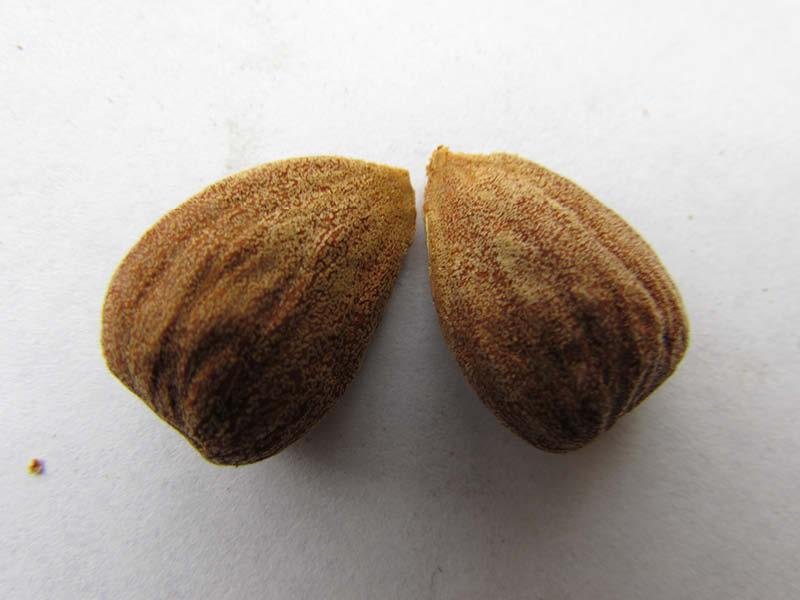 almendra semilla