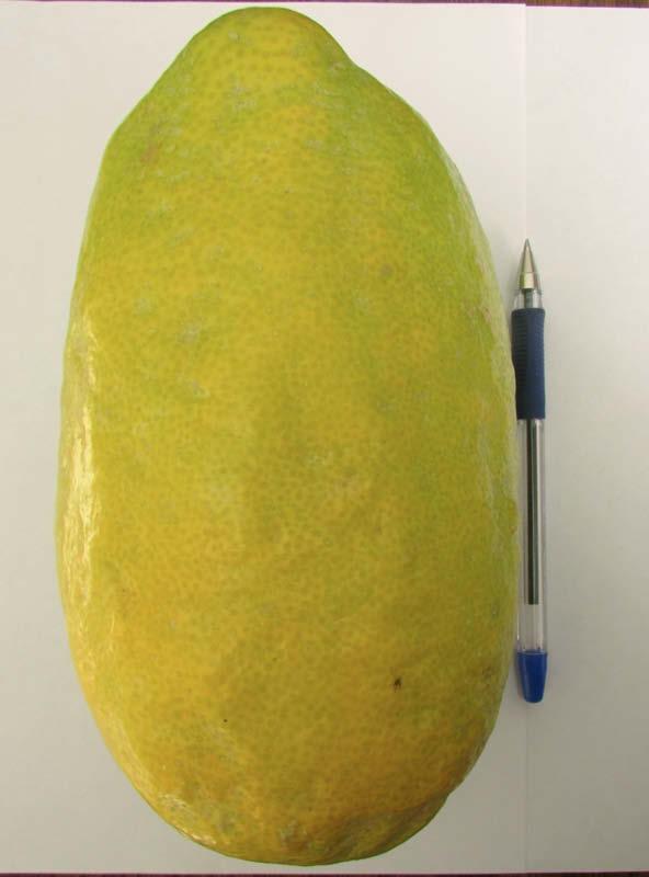 fruto cidro