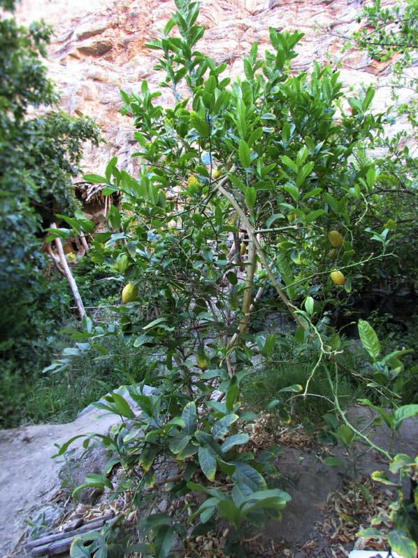planta cidro
