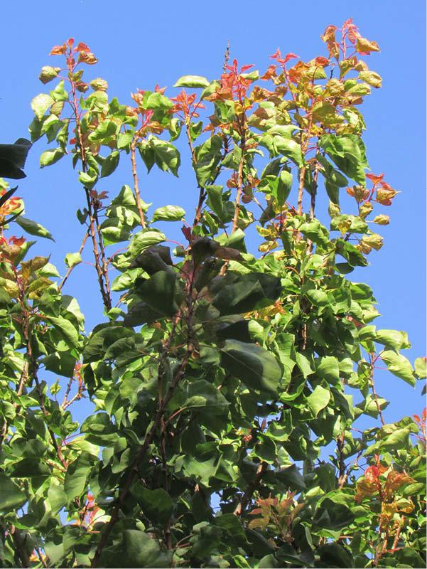 arbol damasca