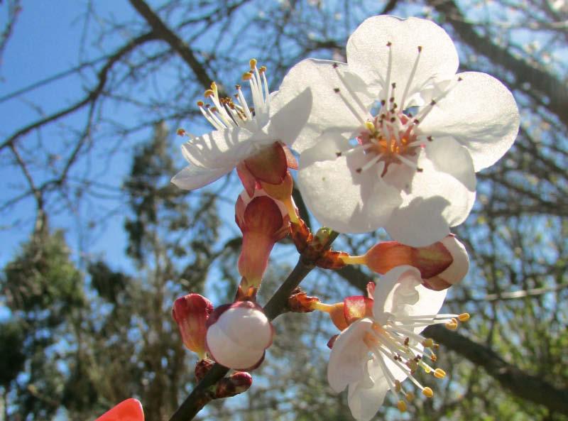 flor damasca