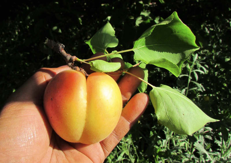 fruto damasca