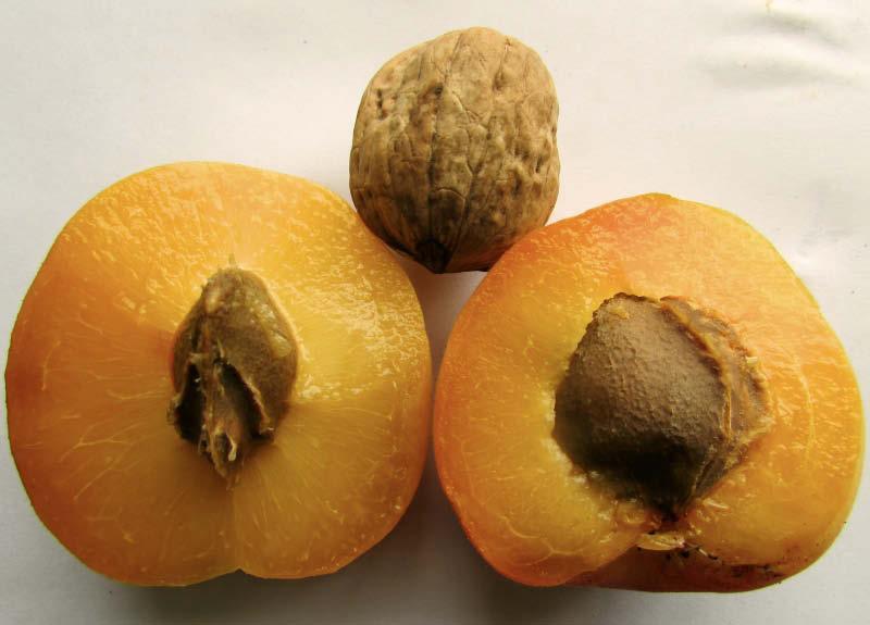 tamaño fruto damasca