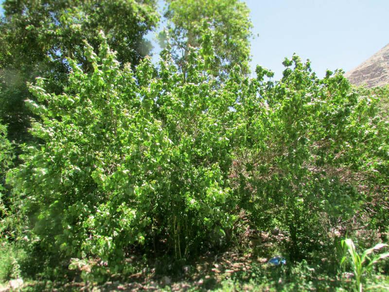 arbol damasco blanco