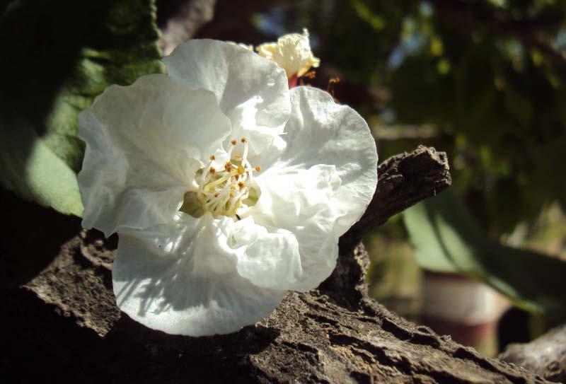 flor damasco blanco