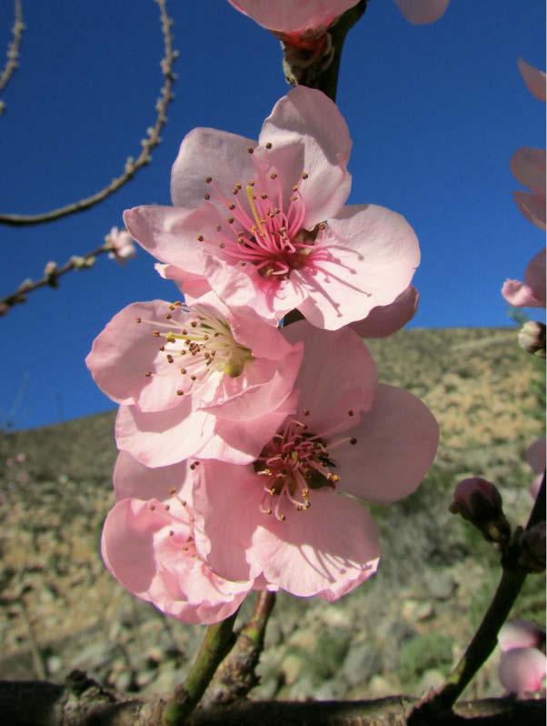 flor durazno abollado