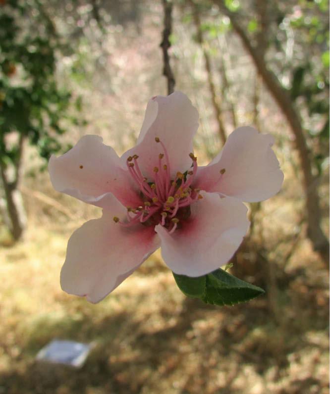 flor durazno blanco