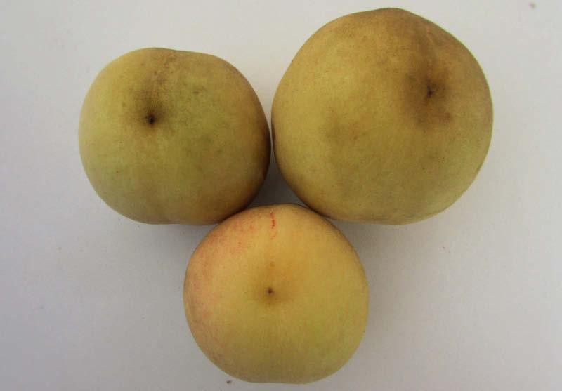 fruto durazno blanquillo
