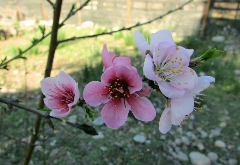 flor durazno de la virgen