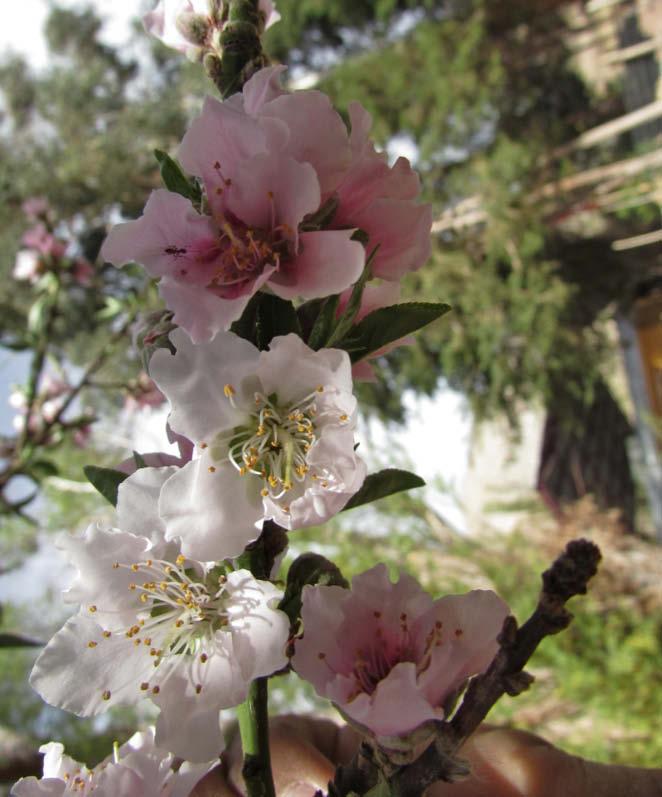 flor durazno perla