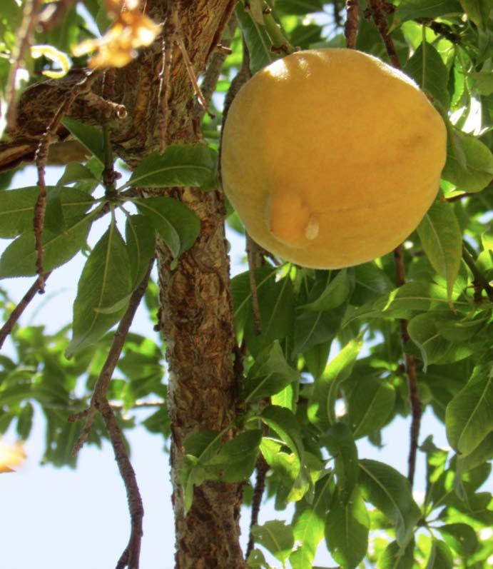 hoja y fruto durazno perla