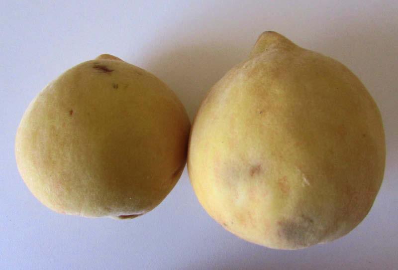 fruto durazno perla