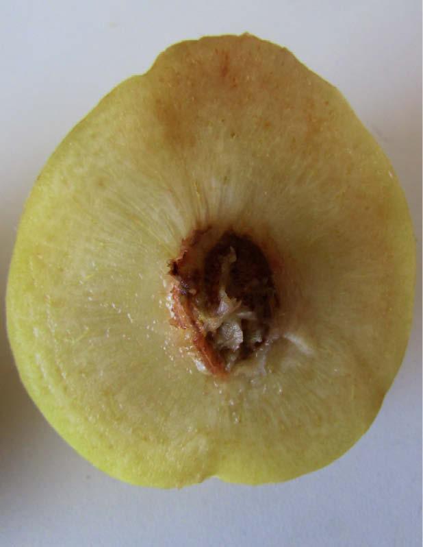 durazno perla fruto partido