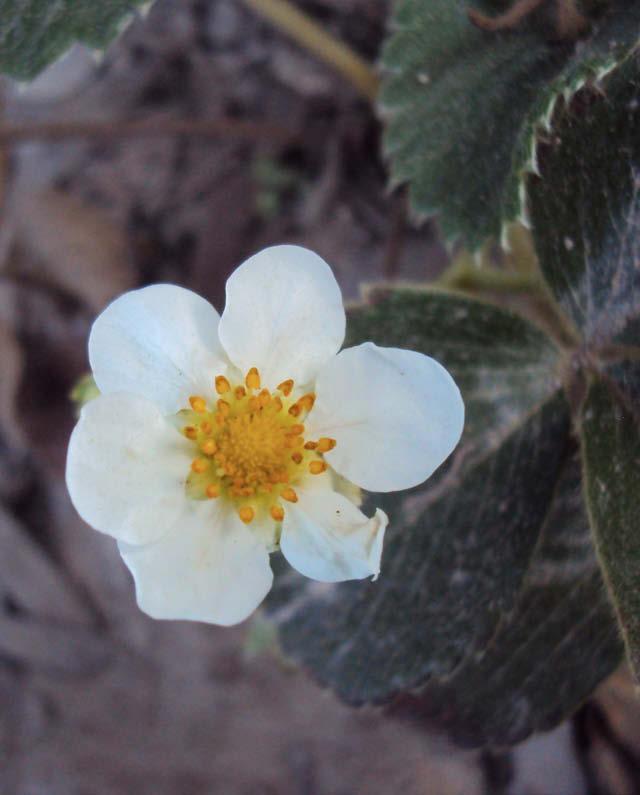 flor frutilla blanca