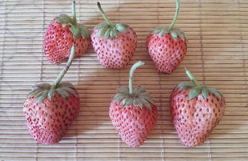fruto frutilla blanca
