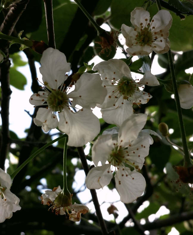 flor guinda