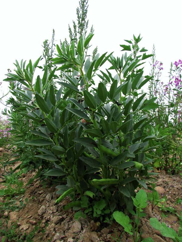 planta haba morada