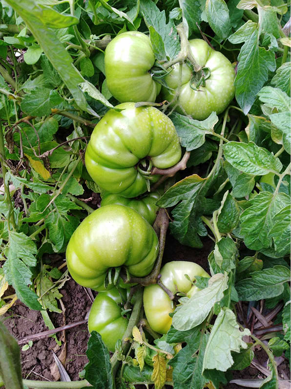 Julio Lira tomate