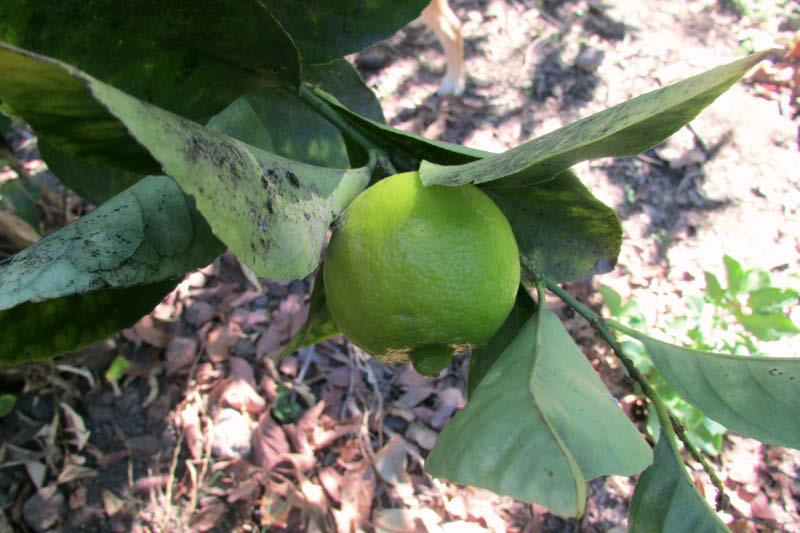 fruto verde lima dulce