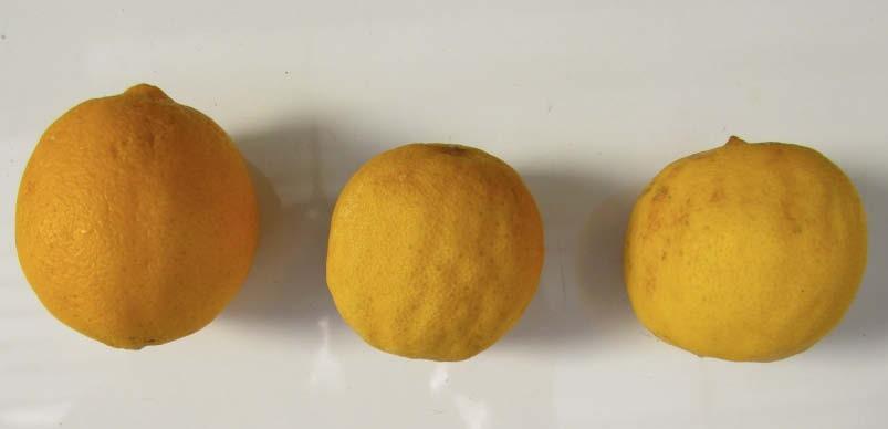 fruto maduro lima dulce