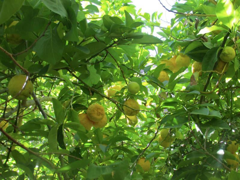 arbol carga frutal limon cara de vieja