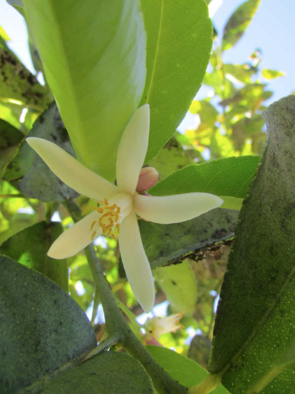 flor limon cara de vieja