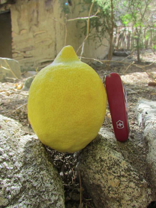 fruto limon grande
