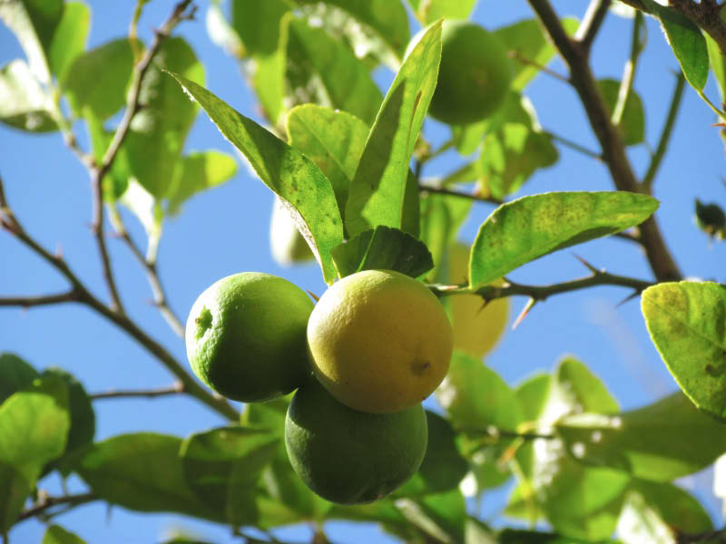 hoja y fruto limon sutil
