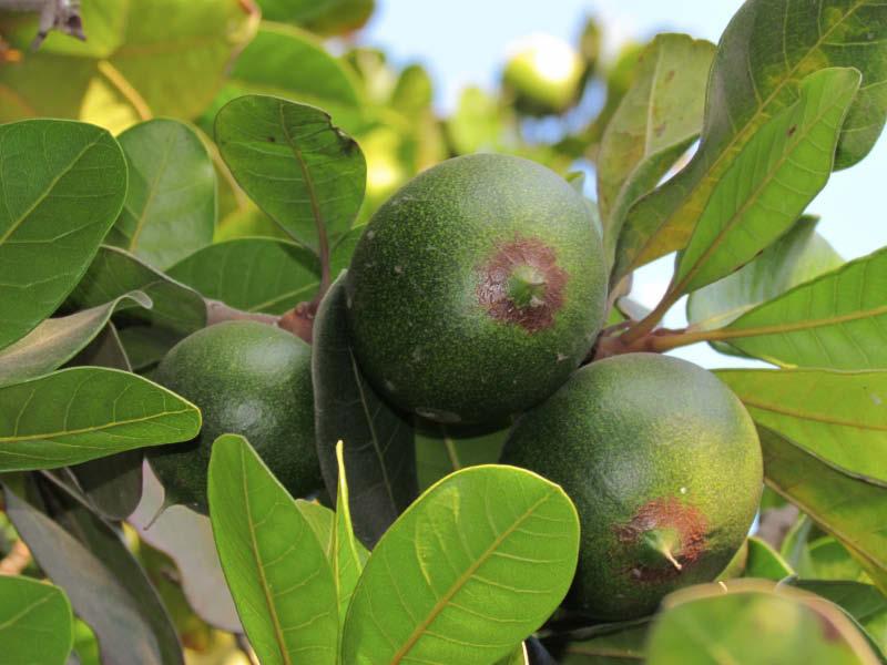 fruto lucuma