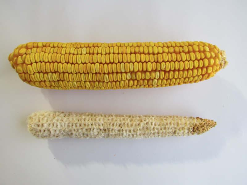 mazorca y coronta maiz