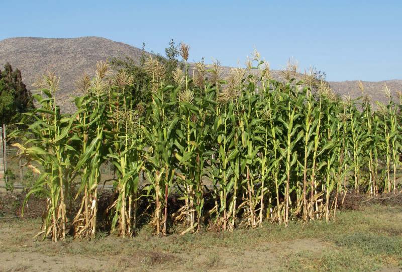 cultivo maiz amarillo