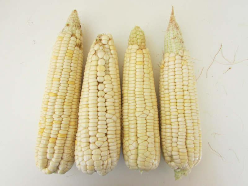 mazorca maiz blanco