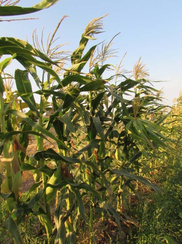 cultivo maíz criollo pastelero