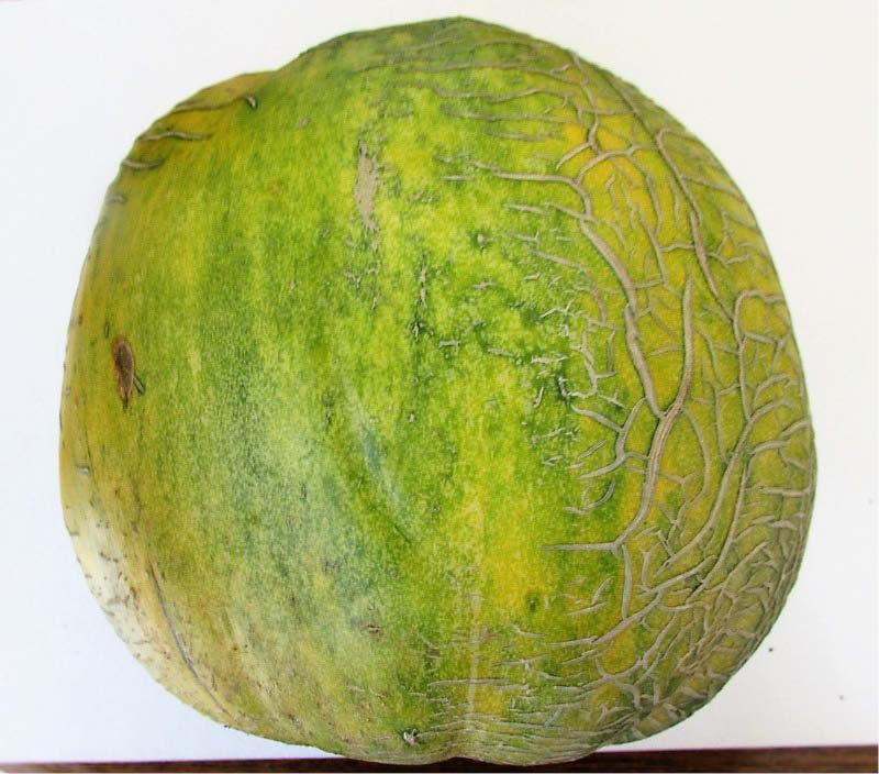 fruto melon zapallo