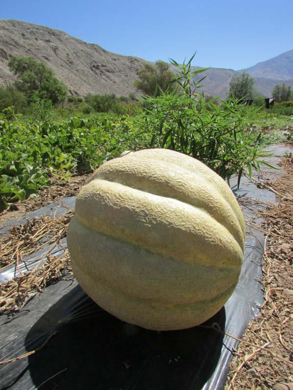 fruto melona blanca