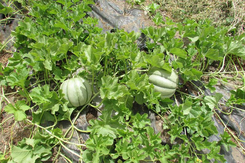 planta melona blanca
