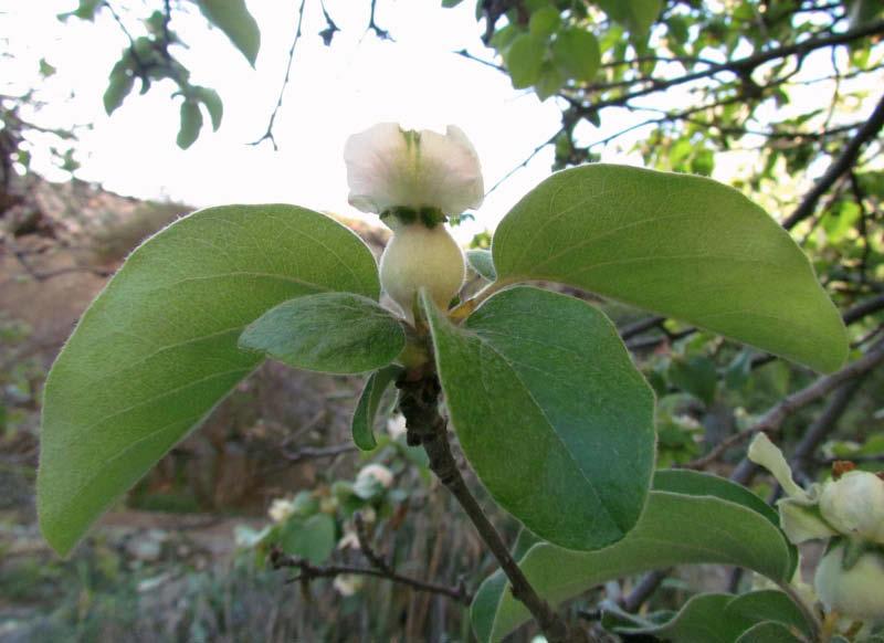 flor hoja cuaja membrillo corcho