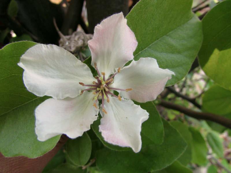 flor membrillo corcho
