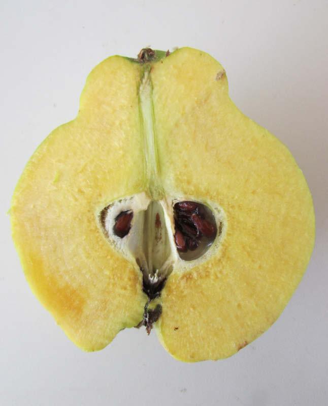 fruto partido membrillo corcho