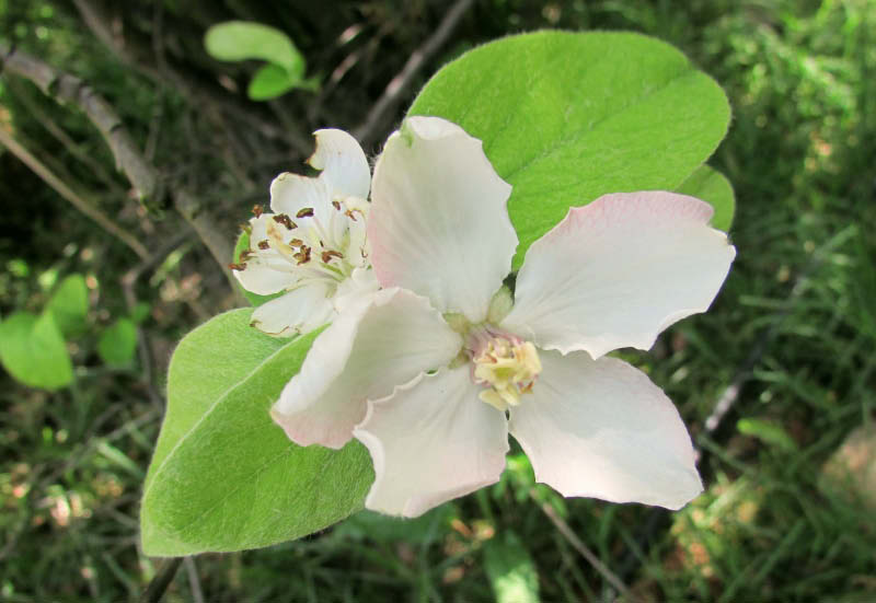 flor membrillo lucumo