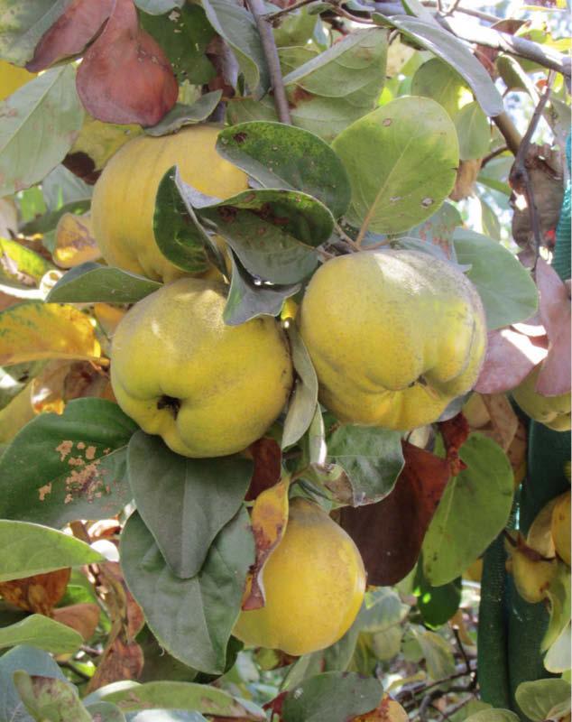 frutos arbol membrillo lucumo