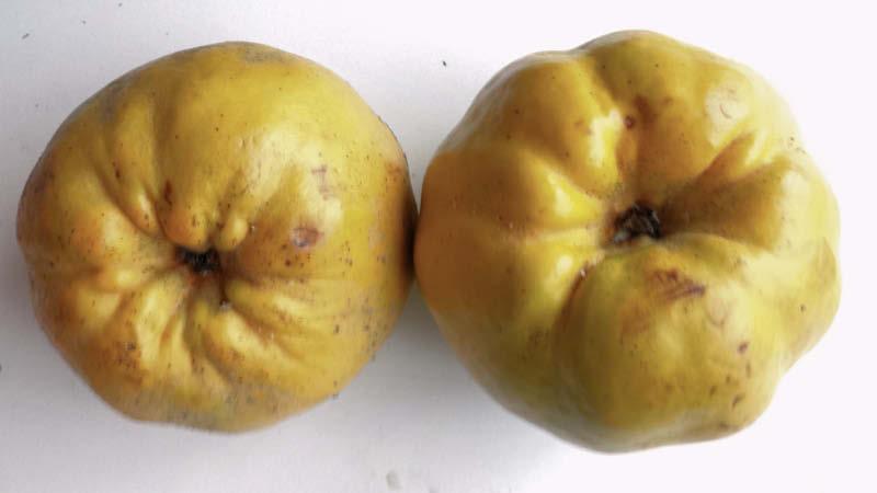 fruto membrillo lucumo
