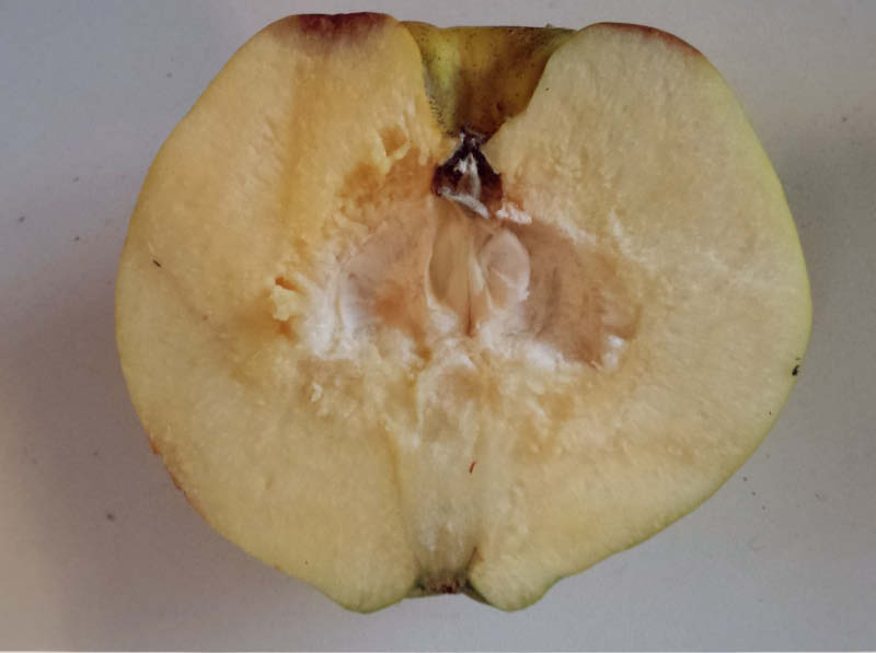 fruto partido membrillo lucumo
