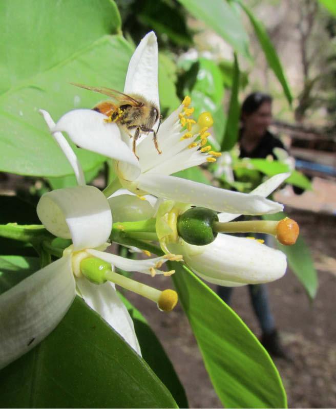 flor naranja criolla