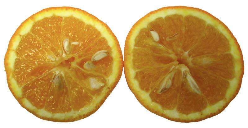 fruto naranja criolla