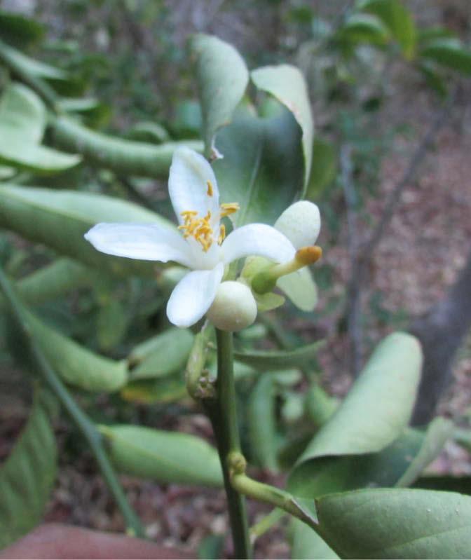 flor naranja dulce